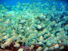 Banc de poissons sergent dans le lagon de Tahiti par Carole POQUET sur L'Internaute