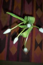 Tulipes d'hiver - Hélène JEDRYKA