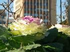 Une fleur en chou-fleur - Isabelle TARAS