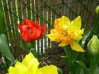Tulipes rouge ou jaune - Joele OFMAN AUDOINE