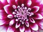 Coeur de Dahlia - murielle hué