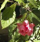 Hibiscus rose et double par Violette LUTZ sur L'Internaute