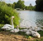La famille cygne - Francine ANCEL