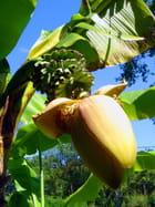 Fleur de bananier - Christian AYMÉ
