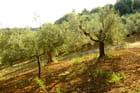 Oliviers au petit matin - Donato ALTIERI