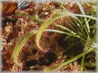 Plante carnivore - martine guilbert-pellet