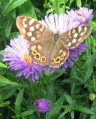 Papillon sur aster - Malou TROEL