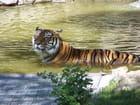 Tigre - denis auduc