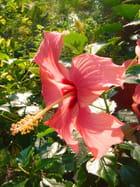 Hibiscus rose - Christian AYMÉ