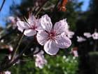 Fleurs de prunus - Jacques Bury
