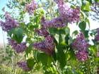 Branches de lilas - jacqueline laval