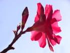 Fleur de laurier rose à contre-jour par Huguette Roman sur L'Internaute