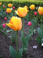 Les tulipes du  jardin des Tuileries - abdelhaq zegzouti