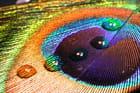 Gouttes d'eau sur une plume de paon par Christopher Berthelot sur L'Internaute