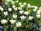 Tulipes de mon jardin - Fanny Diaz