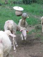 Moutons dans les Pyrénées - ROSELINE RECHER