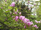Magnolia for ever - Jean-pierre MAILLARD