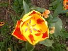 Tulipe du jardin de Monet - Carine PIN