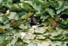 Poule d'eau - WILLIAM TREMBLET