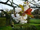 Fleurs de cerisier - Jacqueline DUBOIS