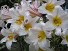 Bouquet de lys - Denise Emilie lienard
