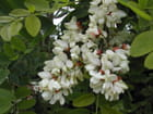Grappes de fleurs - EMILE GALLAIS