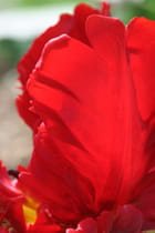 Rouge tulipe - Marie-France MELLONE