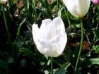 Tulipe blanche -