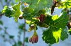 Boutons de fleurs avant les fruits - Jacqueline DUBOIS