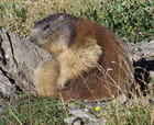 Marmotte - Loetitia PORTERIE