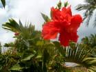 Double fleur d'hibiscus ! - christiane bellevegue
