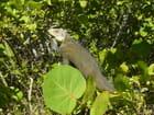 Iguane - dino cicolella