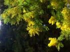 Perle jaune du Sud en hiver - Sylvie SOULLEZ