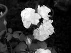 Roses blanches de Sévignac - Michel ACAI