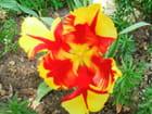 Tulipe perroquet - Jeanne FERY