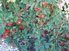 Le cotoneaster franchettii - Genevieve LAPOUX