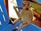 Petit singe acrobate - Jean Claude ALLIN