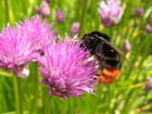L'abeille gourmande -