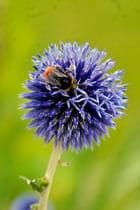 abeille et chardon (2) par   sur L'Internaute