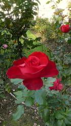 Mignone allons voir si la rose... - Catherine BURG