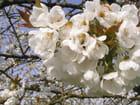 fleurs de cerisier - Véronique LETELLIER-BOULANGER