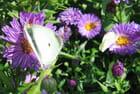 L\'aster et ses papillons favoris - Malou TROEL