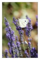 Papillon sur Lavande - Gilliane COUPEL