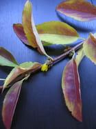 Fleurs  forsythia - liliane bagoe