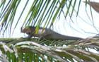 Un iguane - laurent boutterin