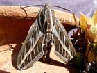 Papillon de nuit par DANIEL BIAYS sur L'Internaute