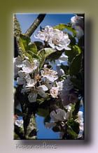 Fleurs de pommier - Serge AGOMBART