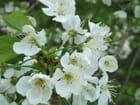Fleurs de cerisier sauvage - Jeanne FERY