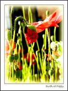 Birth of Poppy...MM - Murielle Maurage
