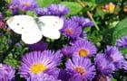Aster et papillon - Malou TROEL